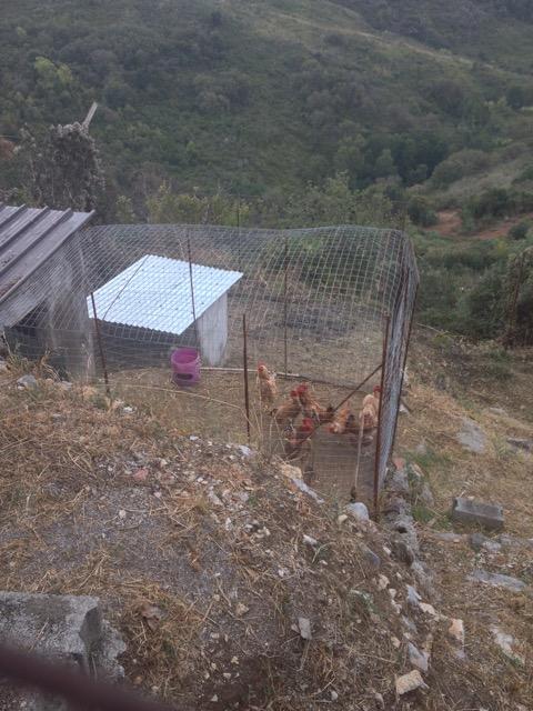 Neighbours Chickens