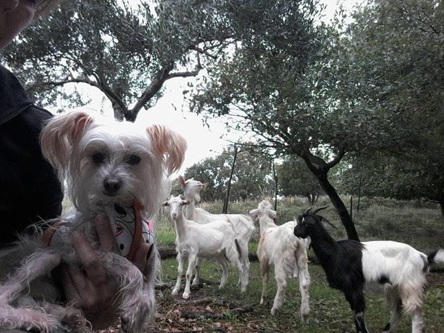 Calabrese Goats