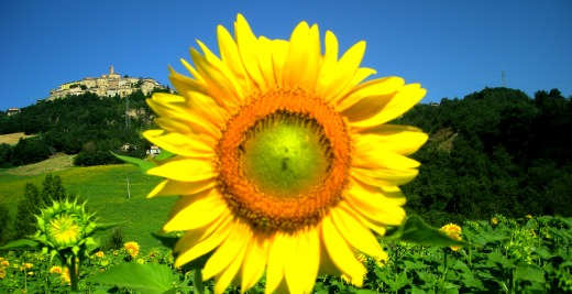 Sunflower Italy