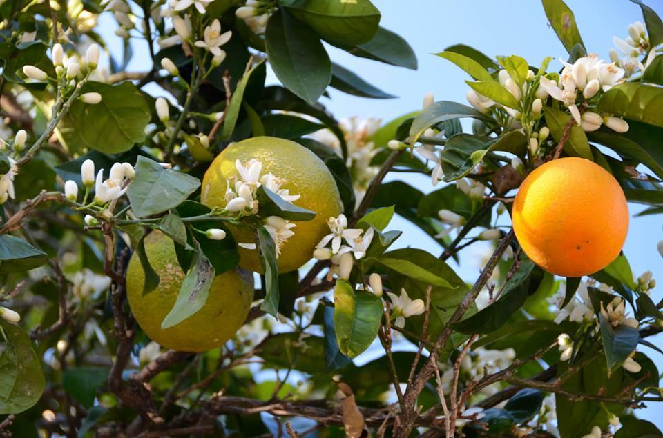 Lemons Procida