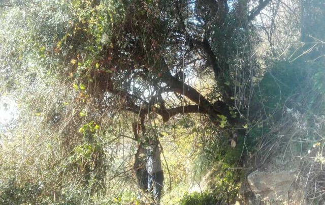 Trimming the Olive Tree