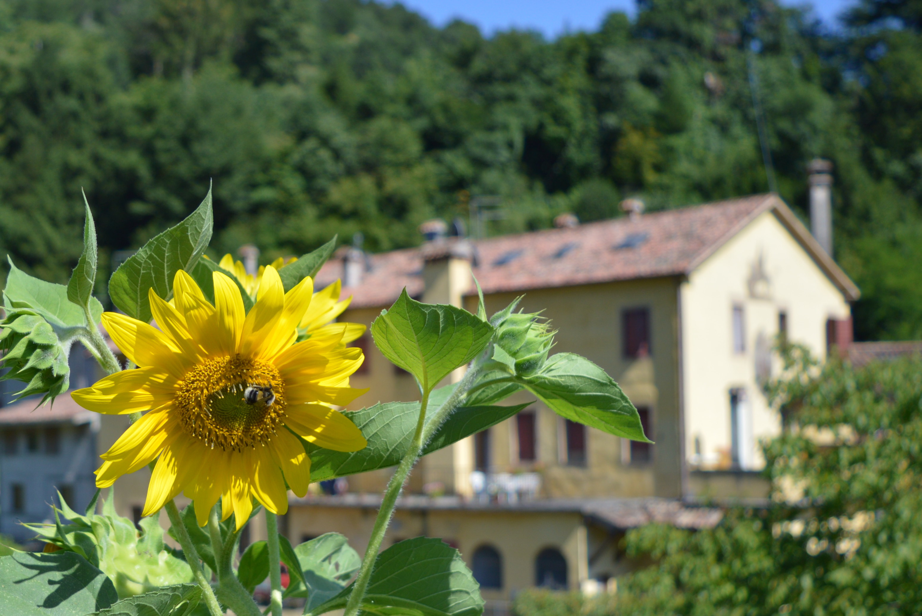 Sunflower in Italy