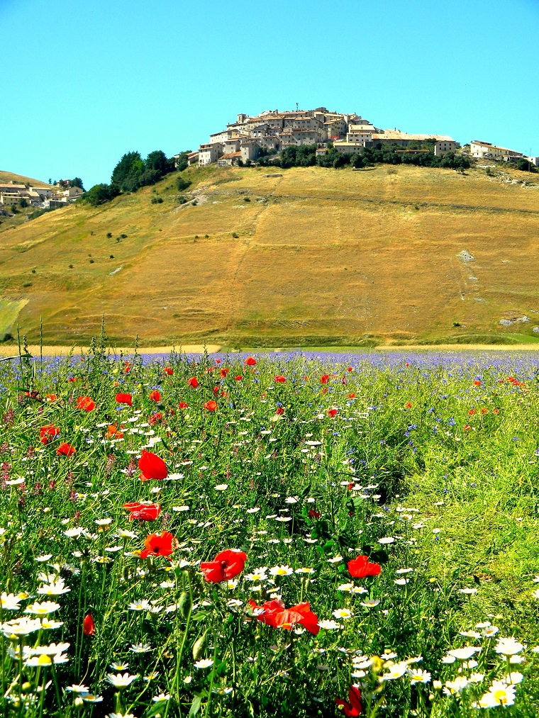 Fields of Poppies in Le Marche Italy