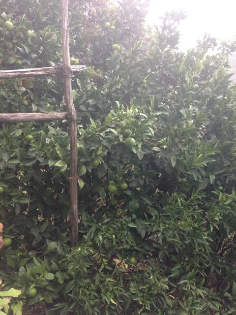 Fruit Trees - Calabria