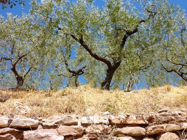 Olive Trees - Umbria
